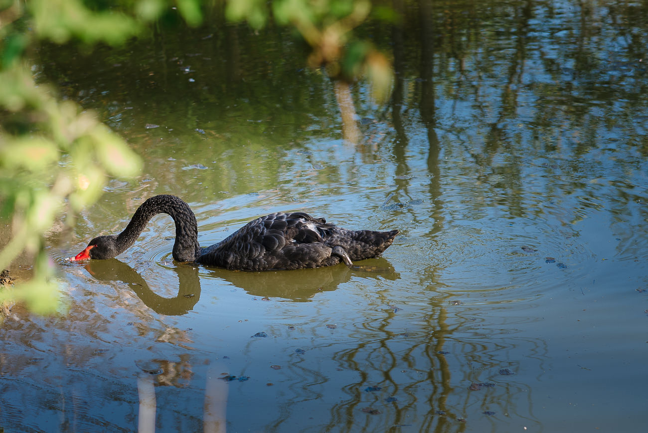 Black swan on a pond at Russets Country House